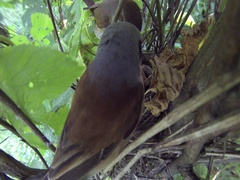 Nest chicks Red-backed shrike Lanius collurio. Male, female birds and nestlings Stock Footage