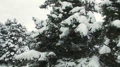 Snowy Pine Trees and Frozen Lake 4K Clip Captured With Drone Cam Stock Footage
