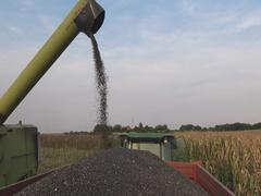 Sunflower Harvest loading in trailer Stock Footage