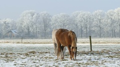 Two horses in winter landscape at farmland Stock Footage