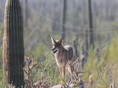 4K UltraHD Watchful Coyote, anis latrans in the Sonoran Desert Stock Footage