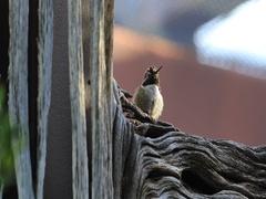 4K UltraHD Relaxing Black Chinned Hummingbird, Archilochus alexandri Stock Footage