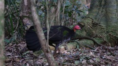 Brush turkey looking for food Stock Footage