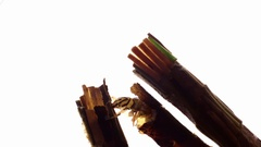 Caddisfly larvae fighting on white background Stock Footage