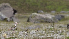 Andean lapwing (Vanellus resplendens) walking and feeding in slow motion Stock Footage