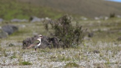 Andean lapwing (Vanellus resplendens) puffs up feathers and walks in slow motion Stock Footage