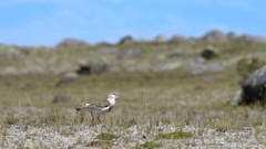 Andean lapwing (Vanellus resplendens) walking in slow motion Stock Footage