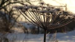 Herácléumplant winter Stock Footage