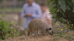 4K Happy father & son looking at meerkats at wildlife park Stock Footage