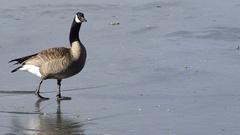 Goose Walks Frozen Lake Ferril City Park Denver Stock Footage