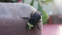 Bumble bee Stock Footage