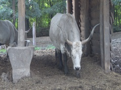 White buffalo in the zoo Stock Footage