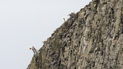 Wild Animal Bird Pelicans Braving Strong Winds Sheer Cliff Bluff Stock Footage