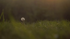 Medium Shot of Dandelion in a Grassy Field During the Sunset Stock Footage