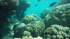 Massive stony corals with tropical fish underwater Stock Footage