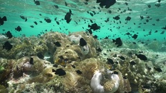 Many tropical fish with sea anemones underwater Stock Footage