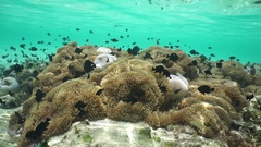 Sea anemones with tropical fish underwater lagoon Stock Footage