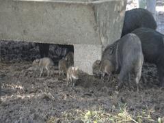 Wild boar pigs Sus scrofa  Stock Footage