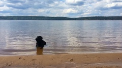 Young handsome black labrador retriever lies in calm water on the beach Stock Footage