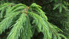 Closeup fir branches in the forest developing in the wind Stock Footage