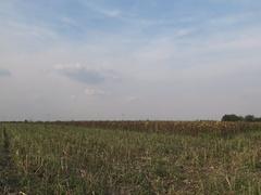Sunflower Harvest timelapse Stock Footage