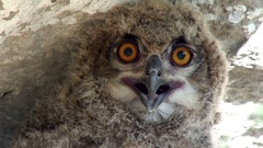 Young Eurasian eagle-owl close-up Stock Footage