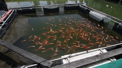 Golden Nile red Tilapia on coastal fisheries research and development center Stock Footage