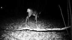 Roe deer (Capreolus capreolus) walk in a forest in a winter night. Stock Footage