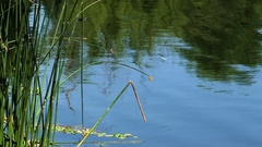 Reflections In Pond With Green Reeds And Dragonflies Stock Footage