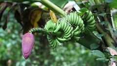 Branch of unripe bananas on the tree with a flower Stock Footage