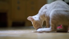 Homeless kitten eagerly eats a piece of bread on the floor at home Stock Footage