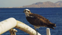 Marine Bird of Prey Osprey Sits on the Mast of the Ship's Bow Against Background Stock Footage