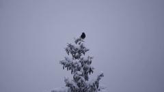 Black Bird on snowy treetop Stock Footage