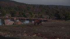 Wild boar walking around a lake Stock Footage