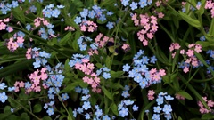 Blue and pink forget-me-nots Stock Footage