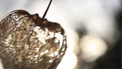 Cape Gooseberry decorative. Japanese lantern Hozuki Stock Footage