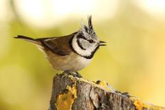 Funny crested tit at garden bird feeder Stock Photos