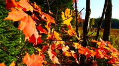 Canadian Autumn Colors in Fall Stock Footage