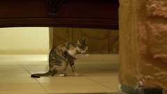 Homeless gray cat licking the floor Stock Footage