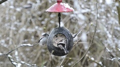 Long-tailed tit (Aegithalos caudatus) looking for seeds on bird feeder in w.. Stock Footage