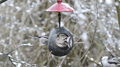 Long-tailed tit (Aegithalos caudatus) looking for seeds on bird feeder Stock Footage