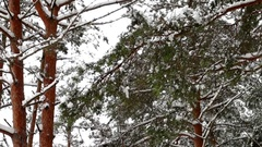 Snow covered pine branches in the wind in a pine forest Stock Footage