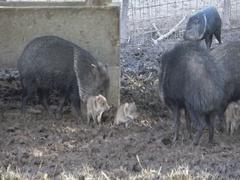 Cute Wild boar Sus scrofa Stock Footage