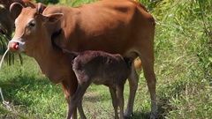 Calf trying suck milk from the cow Stock Footage