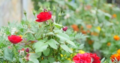 Bush of red roses and green leaf Stock Footage