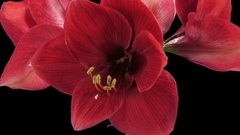 Time-lapse of opening Dark Red amaryllis with ALPHA channel Stock Footage