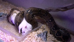 Constrictor snake eats albino mouse in swamp Stock Footage