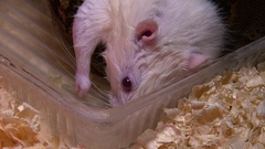 Dead albino mouse in snake swamp, constrictor eating Stock Footage