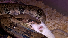 Snake constrictor eats white rat, closeup shot Stock Footage