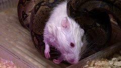 Dead albino mouse in snake constrictor swamp, closeup shot Stock Footage